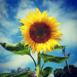 Sunflower  by zemkejacobs