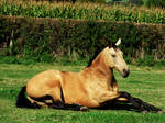 Rocky Lying Down by EquinePhotoandStock