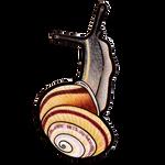 Banded Caracol (Caracolus marginella)
