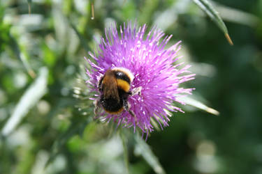Buff Tailed BumbleBee snacking on a Knapweed
