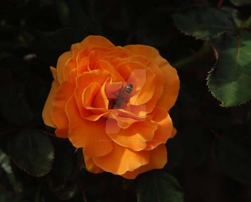 Bee in an Orange Flower