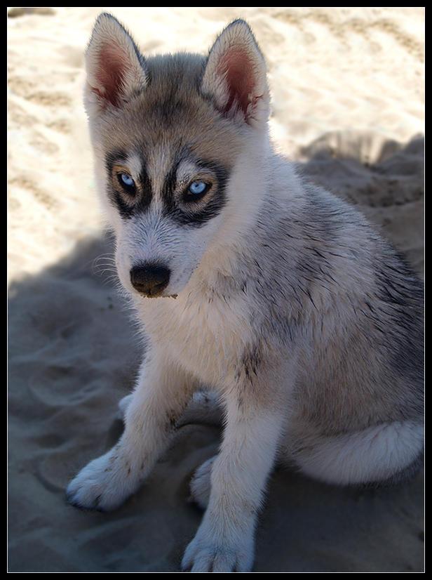 Beach Husky