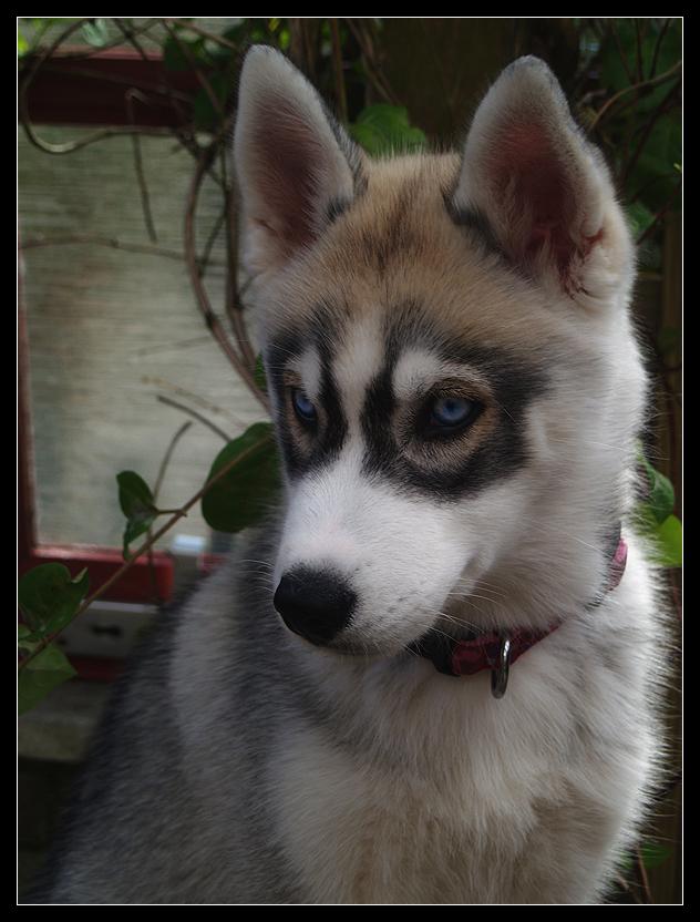 Husky Baby by electrophiliac