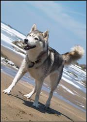 Beach Husky pt. 2