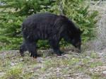 Black Bear 4