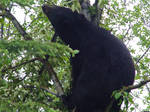 Black Bear 5