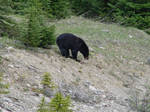 Black Bear 6