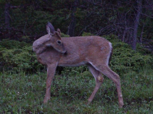 White tail deer 1