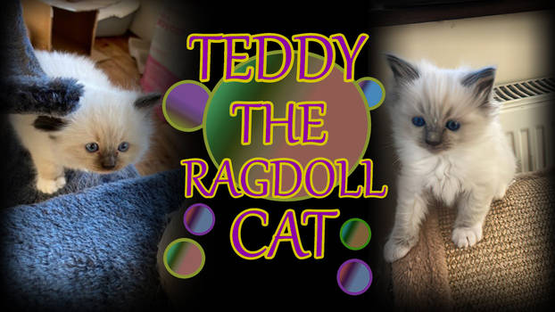 Teddy The Ragdoll Cat Video in description