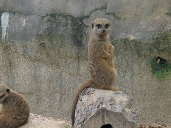 Meerkat by mrwatson