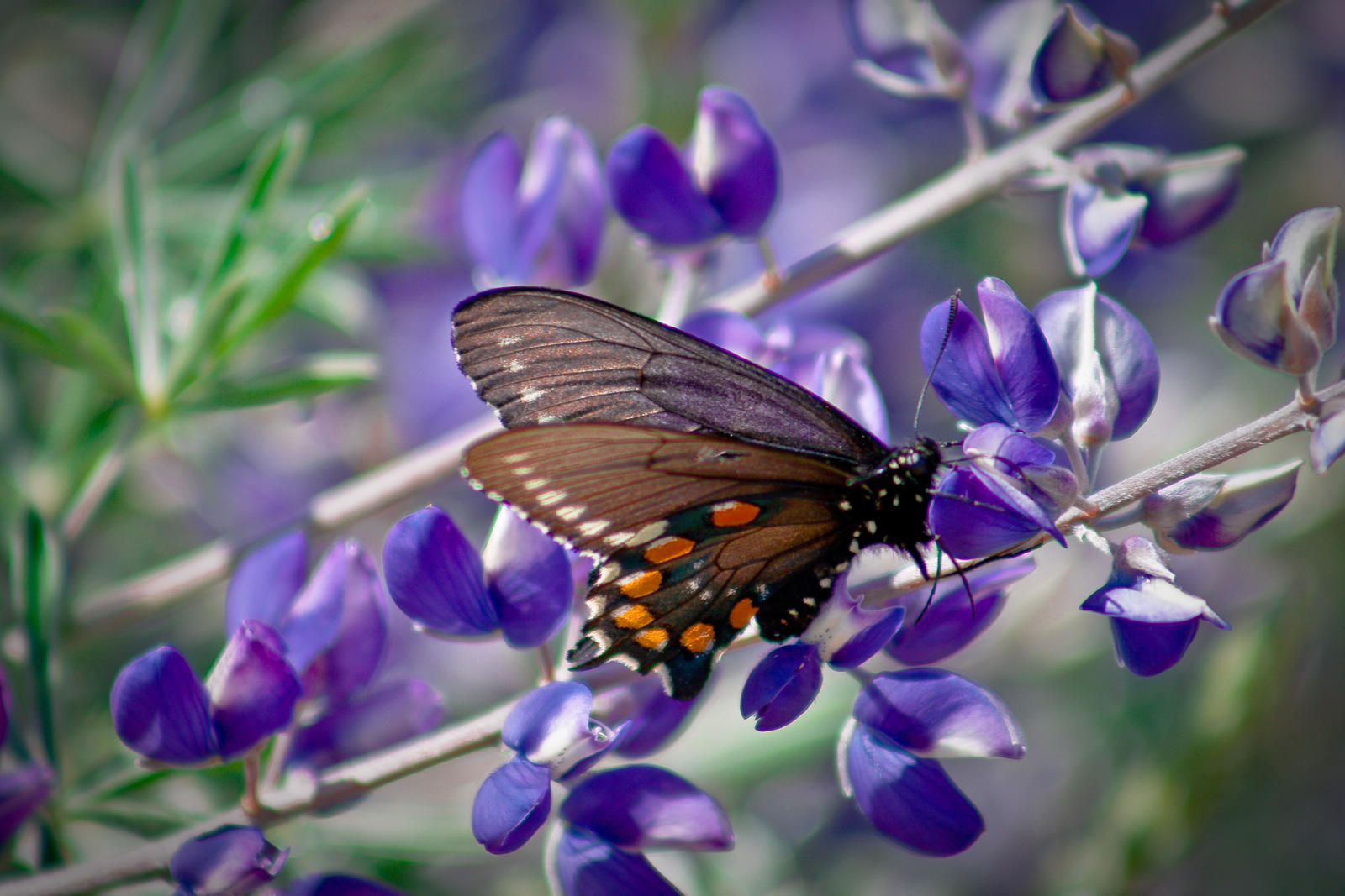 Purple butterfly pictures on flowers for Butterfly in a flower