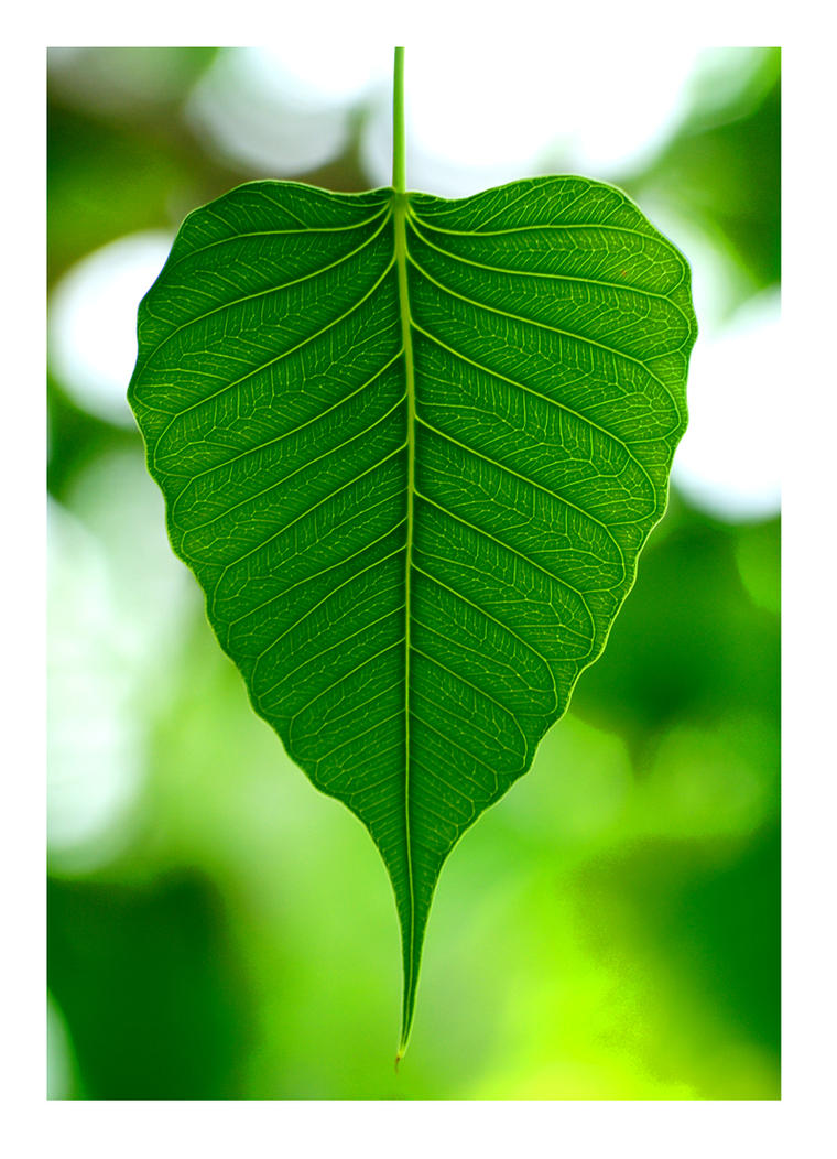 banyan tree leaf - photo #4
