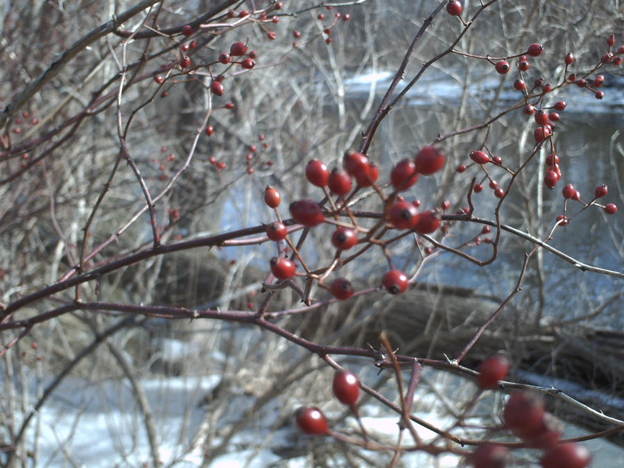 Icy Berries wallpaper > Icy Berries Papel de parede > Icy Berries Fondos