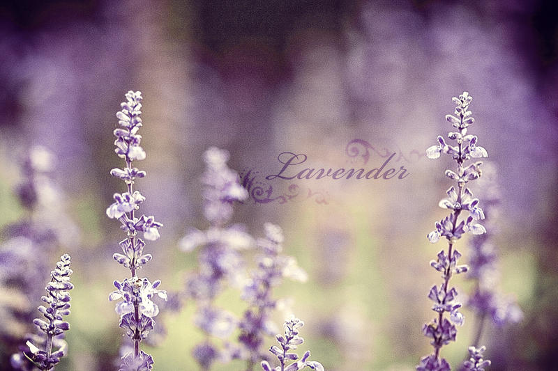Lavender by bittersweetvenom