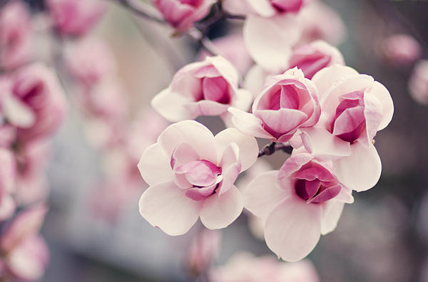 MagnoliaS by bittersweetvenom