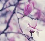 Magnolia III by bittersweetvenom