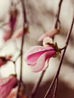 Magnolia V by bittersweetvenom