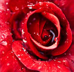 Cry me red roses