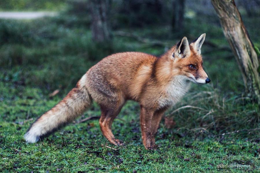 Foxfriend 2 by ChristinaKingma