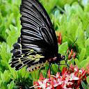 Black Butterfly by hollow72244