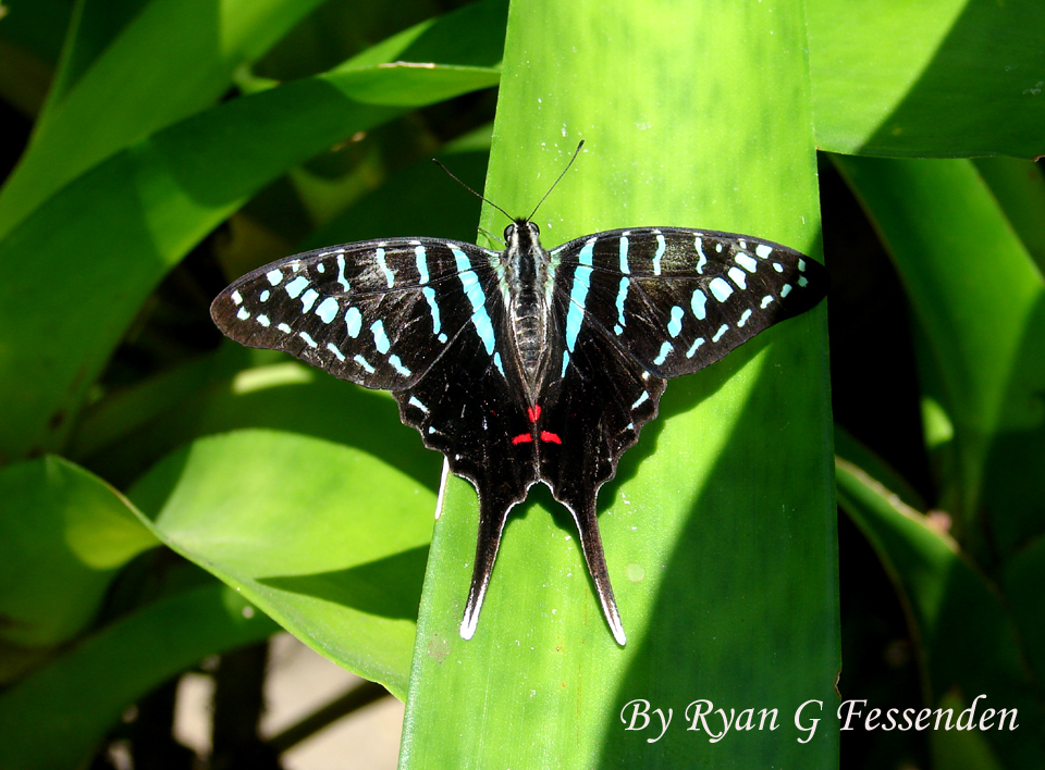 Black Zebra by Fezzgator
