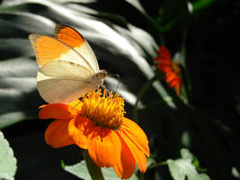 Great Orange White Orange Tip by Fezzgator