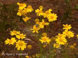 Balduina angustifolia - Yellow Buttons by Fezzgator