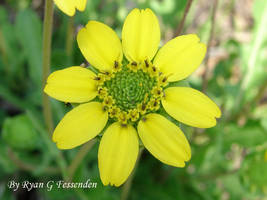 Berlandiera subacaulis - Green Eyes by Fezzgator