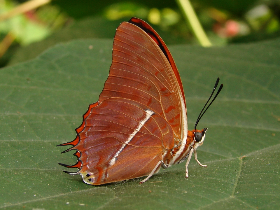 Silver-striped Charaxes by Fezzgator