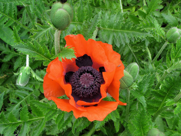Poppy seed flower by nipntuck3 on deviantart poppy seed flower by nipntuck3 mightylinksfo
