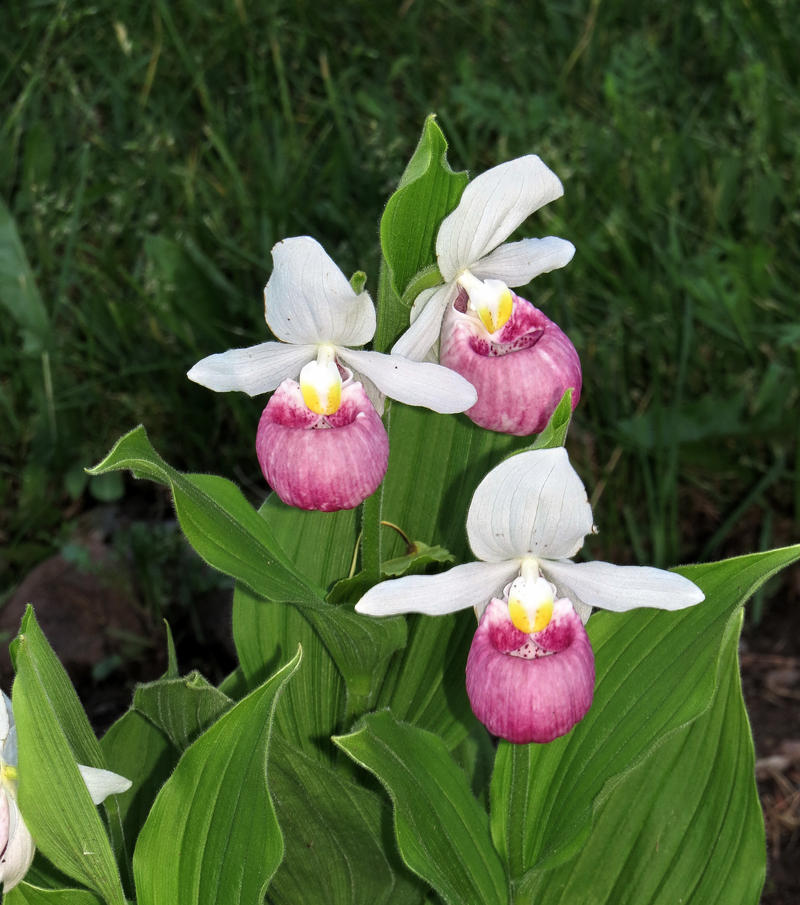 Pink and white lady slippers by nipntuck3 on deviantart pink and white lady slippers by nipntuck3 mightylinksfo