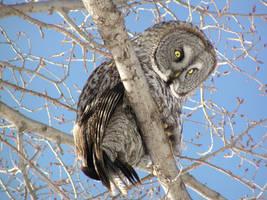 Great Gray Owl by Nipntuck3