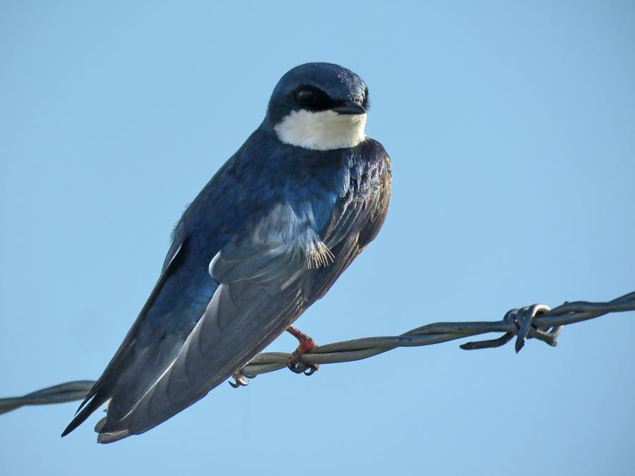 a tree swallow by Nipntuck3