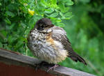 one of my little baby robin by Nipntuck3
