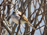 My little white throated sparrow