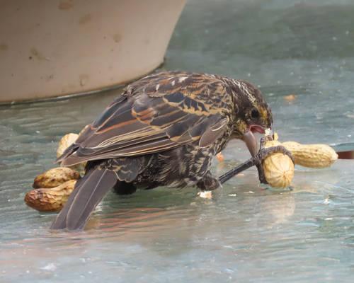 baby bird eating a peanunt