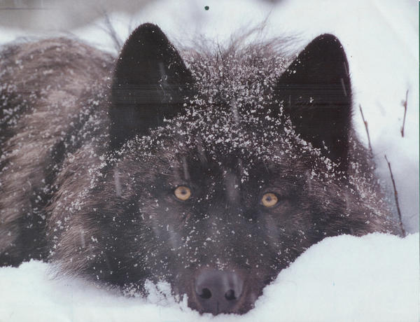 <b>Wolves</b> <b>in the Wild</b>- December by ClineVanMark on DeviantArt