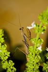 Mantis on the Basil
