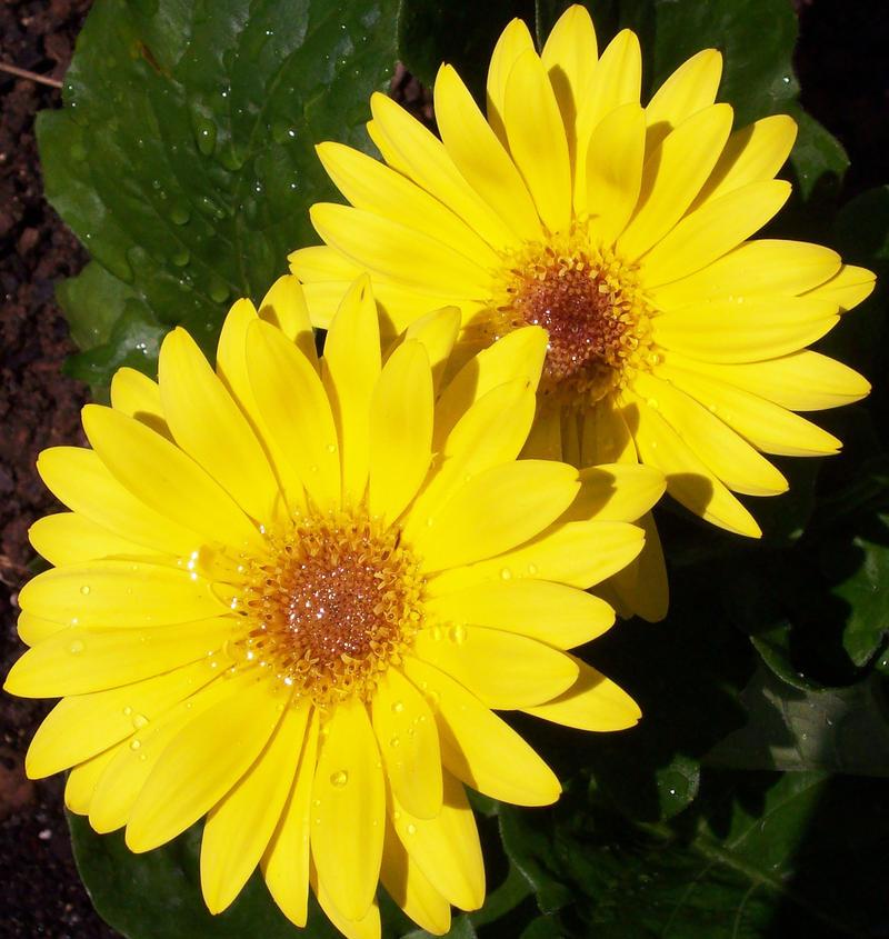 Yellow Gerber Daisy by jynx67 on DeviantArt