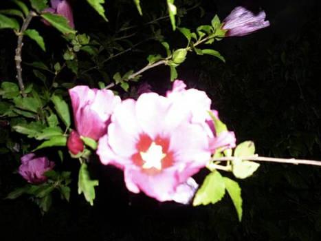 Pink ghost flower