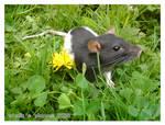My rat :3