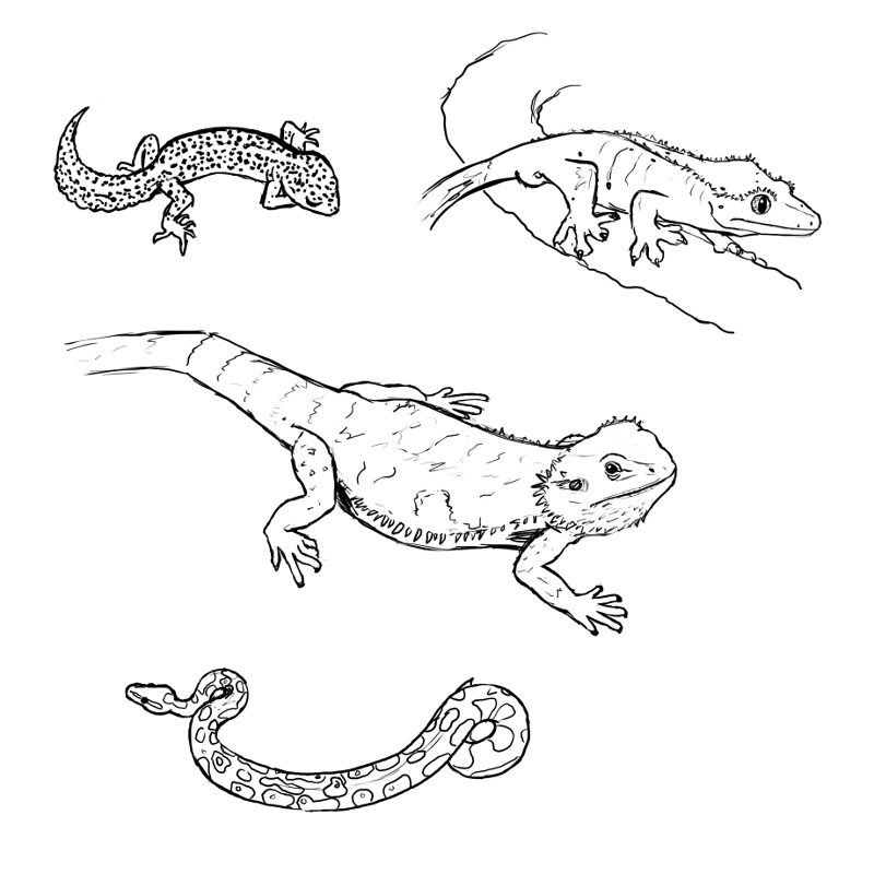 Crested Gecko Coloring Page Crested Gecko Drawing