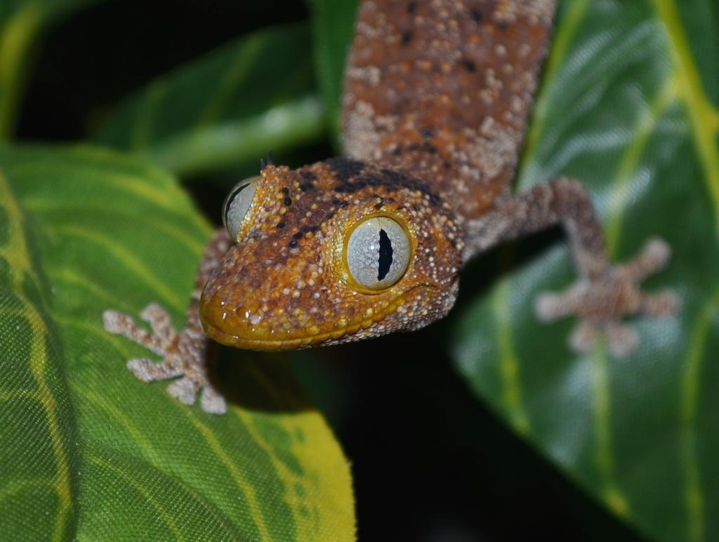 Spiny-tailed Gecko by JoygasmPie