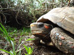 Red-footed turtle