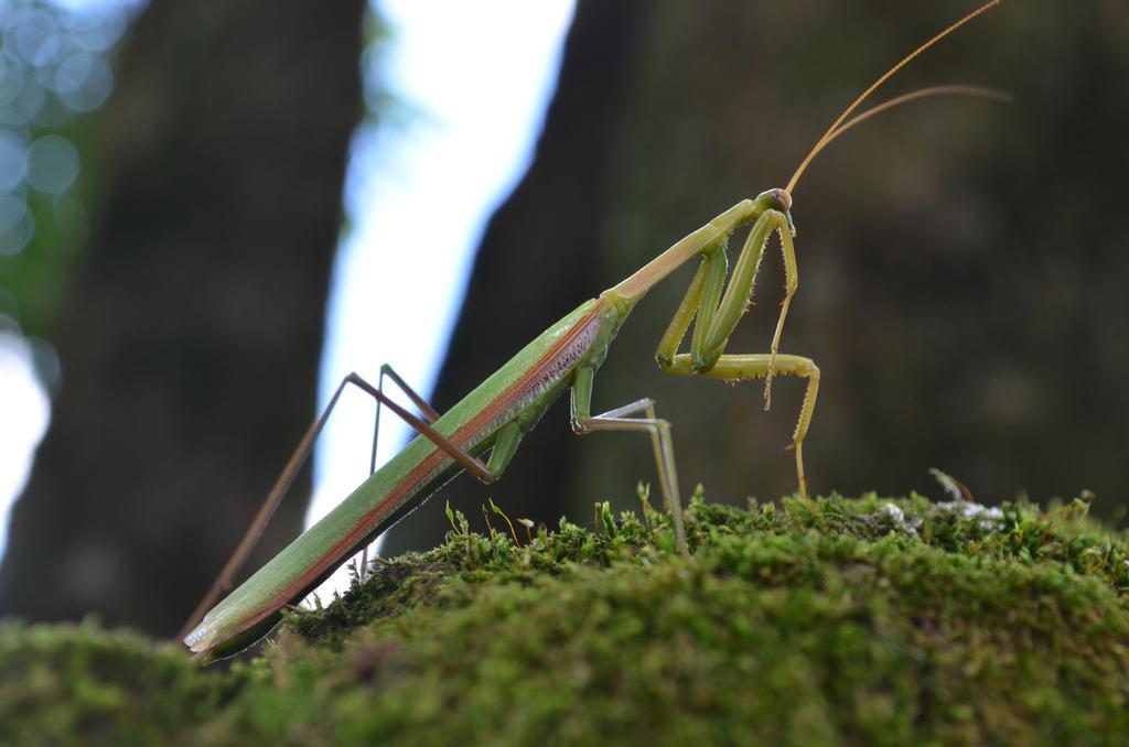 Praying mantis by X-Alex