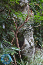 Stick insect by X-Alex