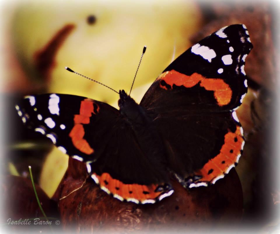 Butterfly by Baronart