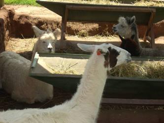 Llamas by Maleiva