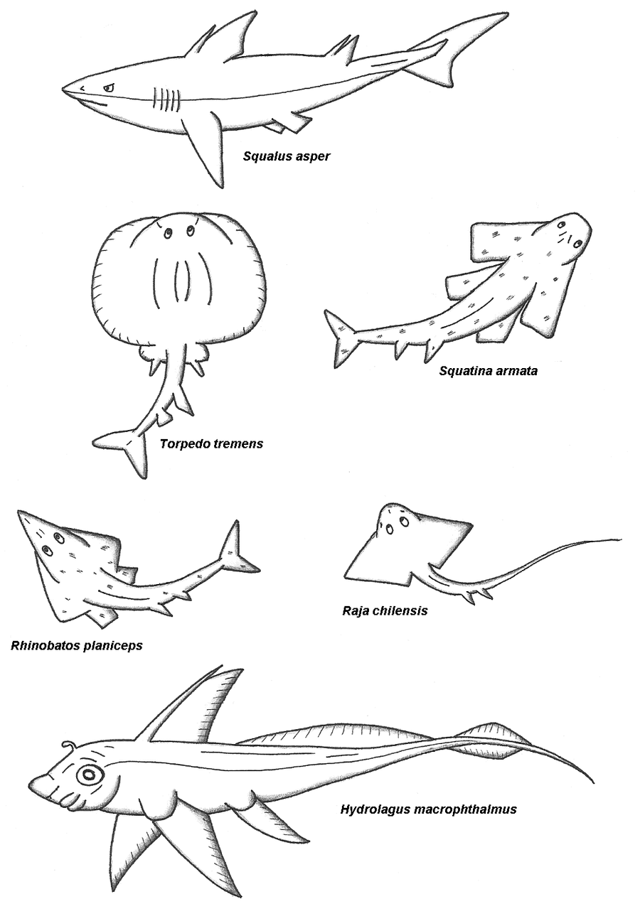 Chondrichthyes by maleiva on deviantart for Cartilaginous fish examples