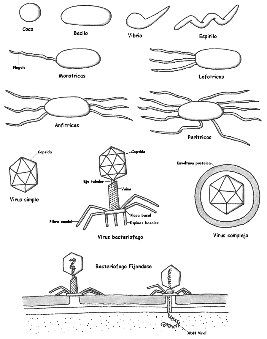 Diagram of bacteria and viruse by Maleiva